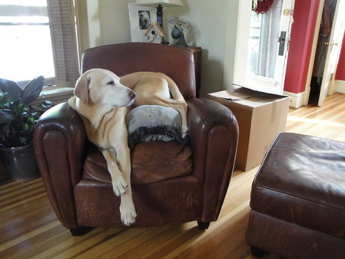 Buddy, Yellow Lab, Lounging on the Distressed Leather Chair.