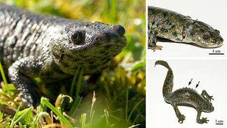 07_spanish-ribbed-newt