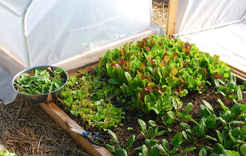 harvesting lettuce mix