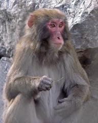 Snow Monkey (njchow82) Tags: portrait nature animal monkey wildlife calgaryzoo snowmonkey potofgold japanesemacaque animaladdiction worldofanimals dmcfz18 njchow82
