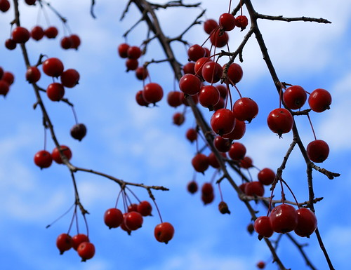 Nov 09 berries