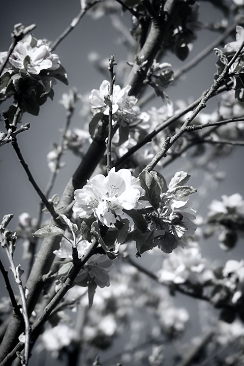 Photography - Cherry Blossom Branches by Nicholas M Vivian