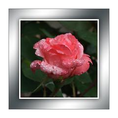Jede Rose hat auch Dornen ... (Harald52) Tags: rose natur blte garten tropfen