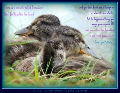 There is a miracle called Friendship (herberouge1 - 4th trip St Florida return ! YES !) Tags: cute fall nature water animal garden duck awesome closup babys picnik frienship babyduck jardinbotan