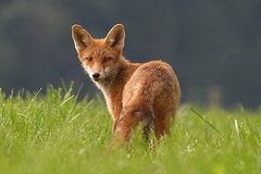 Red fox (Vulpes vulpes) (bayucca (busy)) Tags: charity switzerland ngc fox postcards rotary fuchs nationalgeographic emmental verkauf redfox vulpesvulpes postkarten supershot physis rotfuchs specanimal specanimaliconoftheweek eichli wildcaninephotography naturesgreenpeace mothernaturesgreenearth mineex stiftungmineex wohlttigerzweck foundationmineex amazingwildlifephotography photocontesttnc12 pvnaturewinner