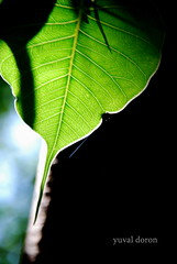 green (yuval doron nature is allways about change) Tags: green nature leaf shadows     yuvaldoron