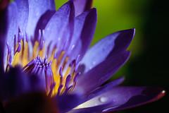 Water Lily Macro 6 (bryan.dawson) Tags: macro texas waterlilies texasrenaissancefestival