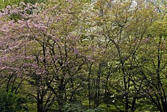 Dogwoods at Villa Taranto, Verbania, Italy (Rosarian49) Tags: park trees gardens arboretum cornus villataranto rosarian49