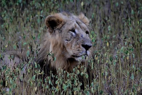 Low 2009-11-29 Sasan Gir - 01 Safari 28