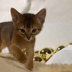 Xanthomelas El Cid Sigur (peter_hasselbom) Tags: cats cat 50mm kitten flash kittens usual christmasdecorations abyssinian onwhite elcid baubles ruddy 9weeksold iso500 2flashes cc100 nowhiskers