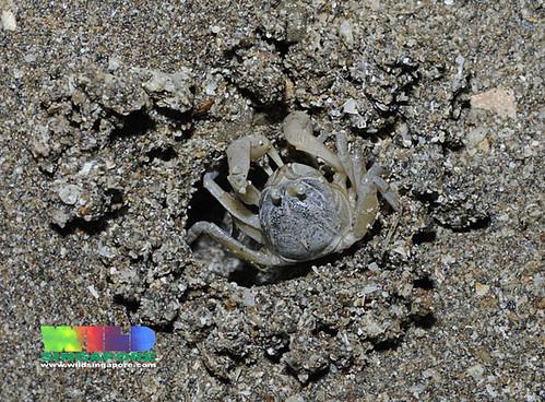 Soldier crab (Dotilla sp.)
