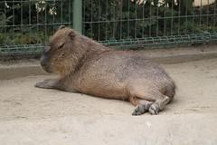 Capybara (CapybaraJP) Tags: capybara