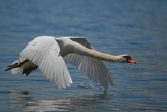 Swan fly (jd.echenard) Tags: bird fly swan wings nikon altitude attitude vol vögel schwan oiseau cygne cisnes ailes flug ruby5