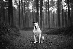 8/52 alone in the forest (Jutta Bauer) Tags: 52weeksfordogs 52weeksforedgar 852 edgar excellentedgar boxermix pitbullmix dog forest bw blackwhite