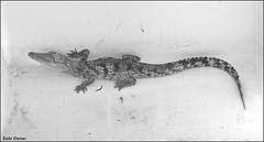 Crocoloco-IZE-299 (Zachi Evenor) Tags: zachievenor israel crocoloco crocolocofarm crocodilefarm crocodiliansfarm crocodile nilecrocodile crocodylusniloticus crocodylus niloticus crocodilia crocodilians haarava riftvalley צחיאבנור ישראל קרוקולוקו חוותקרוקולוקו חוותתנינים חוותתנינאים תניןהיאור תנין היאור תנינים קרוקודיל קרוקודילים תנינאים הערבה 2017 hatzeva 20170221