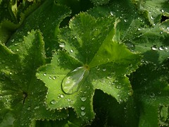 09-05-19 Tautropfen / Dewdrops (ellie_pirelli_0306) Tags: plant green nature dewdrops drops natur pflanze grn tropfen tautropfen frauenmantel ladysmantle