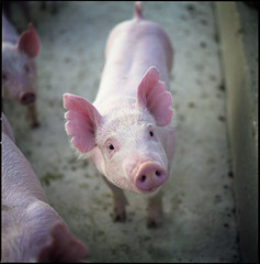 hasselblad hog (manyfires) Tags: pink portrait film animal mediumformat pig farm iowa hasselblad swine piglet hog porcine hasselblad500cm 500px ldlportraits highqualityanimals