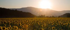 Sunflower Field (colesfromnewcastle) Tags: sunflowers field sunset flare drome france geo:lat=44664754 geo:lon=5469003 geotagged