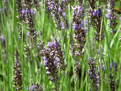 lavender (textual refuse) Tags: park flowers summer paris garden pretty butteauxcaille