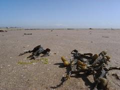 R0018004 (Grey Hamster) Tags: uk sea england macro beach sand weed lancashire lytham 100 ricoh caplio annes stannes gx gx100 ashowoff