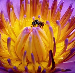 Summertime...and the livin's easy (jmanj) Tags: flowers india macro closeup waterlily insects bee baroda hymenoptera vadodara insectphotography johannesmanjrekar