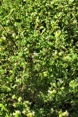 Origanum vulgare (rq) - 02