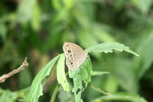 你拍攝的 22~IMG_1125切翅單環蝶。