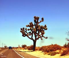 joshua tree (Ghost Particle) Tags: california blue sky sand skies desert joshua mojave hesperia sands deserts mojavedesert joshuetree joshuatreegiantmojavemohave