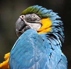 Blue Macaw (San Diego Shooter) Tags: zoo sandiego macaw sandiegozoo bluemacaw