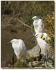 Patience, Persistence and Determination (Romair) Tags: nature birds outdoors wildlife wetlands marsh patience egrets determination persistence instantfave marinij rogerjohnson cortemaderacamarsh