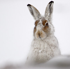 Mountain Hare (Chris Sharratt) Tags: mountainhare lepustimidus visitmywebsite chrissharratt