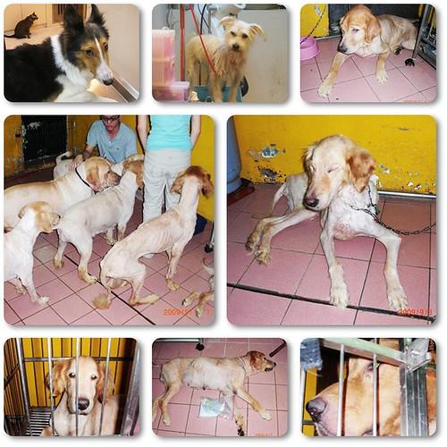 20090905「需要支援」收容所救出的一批黃金獵犬,一共10幾隻+牧羊犬,梗犬,需要助養人、中途、認養、醫療資源等,轉貼轉寄也是很重要,謝謝!