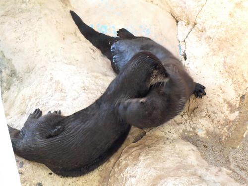 Clearwater Marine Aquarium: River Otters Grooming