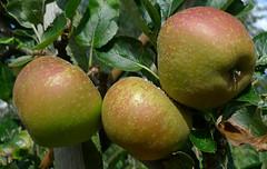 pixie (Elizabeth Moriarty) Tags: apple pixie pomme