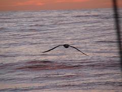 Brazil albatros