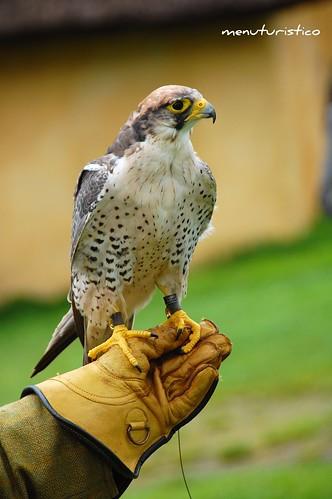hobro-falcone