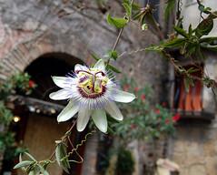 Calcata-passiflora (katia ancona) Tags: passiflora viterbo calcata