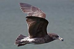 Pacific Gull juvenile 5 (Geoff Penaluna) Tags: seagulls bird birds closeup nikon dof australia melbourne victoria birdwatcher 85mmf14 d700 avianexcellence nikond700 fotocompetition fotocompetitionbronze