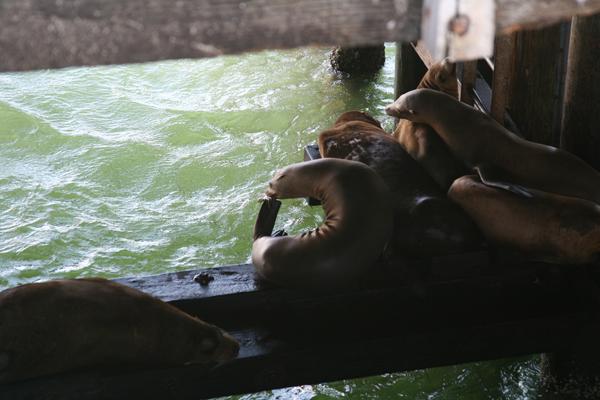 Sea Lions Under Sant Cruz Pier