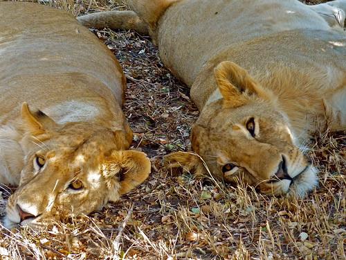 Lion, Maasai Mara, Kenya