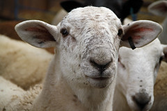 Freckled face ram