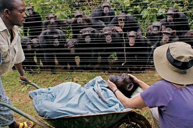 Grieving chimps