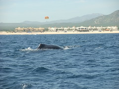 Humpback Whale ! (ming.chen) Tags: cruiseship royalcaribbean cabosanlucas mexicanrivieracruise pacificcoastofmexico f200exr fujifilmf200