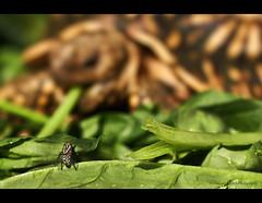 David (edmundlwk) Tags: green 50mm prime star leaf tortoise lettuce hide housefly davidandgoliath canon450d rebelxsi edmundlim