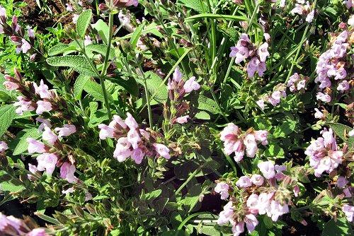 Salvia officinalis (rq) - 02