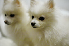 (* mi) Tags: bear dog white f14 taiwan sigma taipei dslr   pomeranian  30mm  30mmf14  sd14