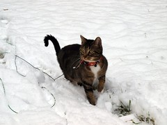 Snow Cat (Tabby Fan) Tags: snow 510fav hudson snowcat firstsnowfall whaaat cc100 abigfave browntabbywithwhitepaws