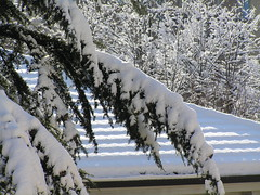 Quanta neve... (gabriele71) Tags: schnee snow nieve sneeuw neve neige lumi nevicata laspezia snowytree fiocchi    alberoinnevato arbresenneigs luminenpuu  rbolcubiertodenieve verschneitebaum   baumschnee