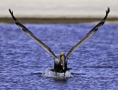 Pelican Blast Off (Guy Schmickle) Tags: bird flying florida flight waterbird pelican brownpelican birdinflight fortmyers fortmyersbeach littleesterolagoon