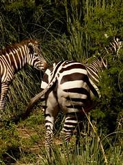 Cebras (FernandoRey) Tags: argentina animal caballo buenos aires safari zebra grupo escobar zebras cebra portea cebras rayado mamifero temaiken cuadrupedo herviboro